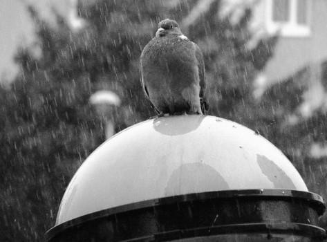 Pigeon sous la pluie