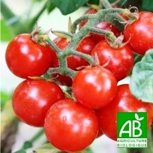 Tomates bio en grappe
