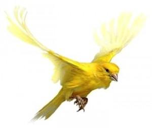 Canari volant