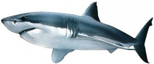Requin taupe (Carcharodon carcharias)
