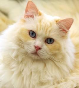 Chat angora beige