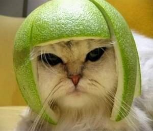 Chat coiffé