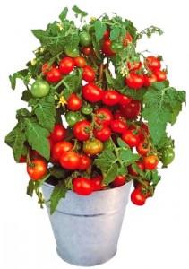 Tomates cerise en pot