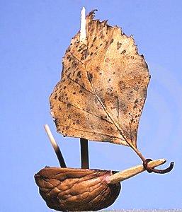 Coquille-de-noix