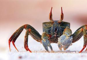 La démarche latérale du crabe