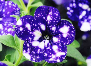 Petunia Night Sky (pétunia cultivars)